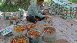 A man packing cherries into boxes in an orchard on Srinagar outskirts