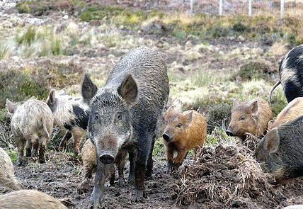 Growing presence of wild boars in Kashmir yet another danger, to man and animal both