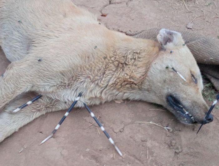 Killer Quills: Dog dies in stinging battle with porcupine