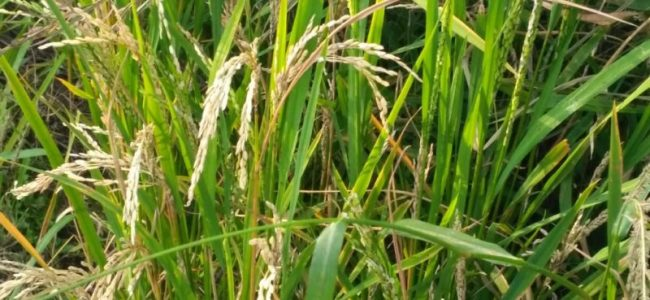 'Rice blast' leaves Pulwama farmers worried