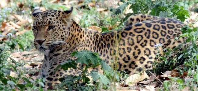 Four injured after Leopard attacks residents in Pulwama village