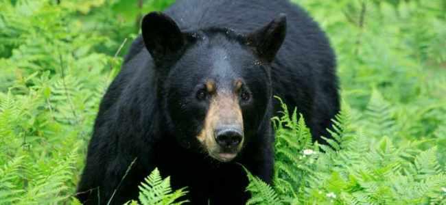 Three injured in bear attack at Qazigund