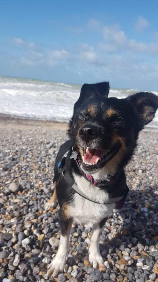 zrelaksowany pies na plaży w Normandii