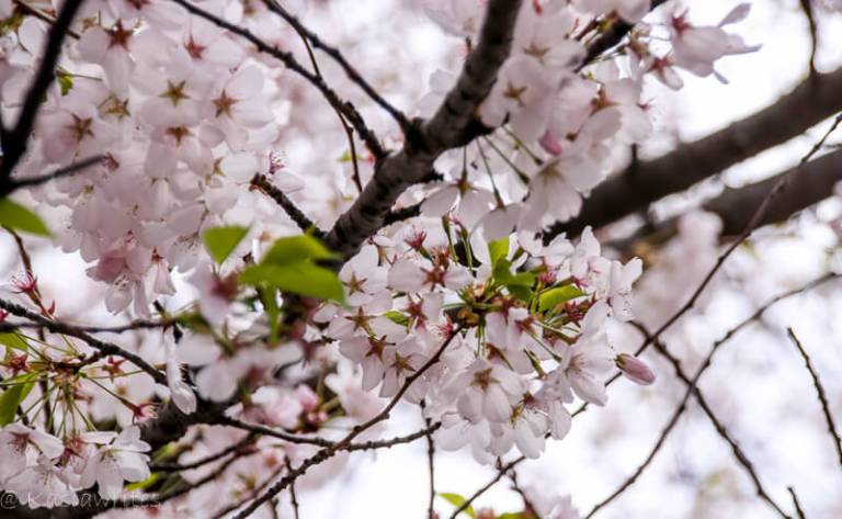 Where to find cherry blossoms in Toronto   kasiawrites