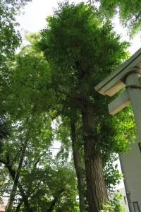 鳥居横の御神木