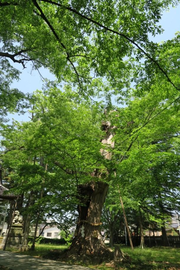 間明町内からの暖かい助力を得て樹勢を取り戻しつつある神木「」