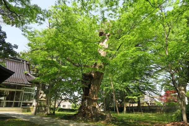 大神様の御威徳を示す大木