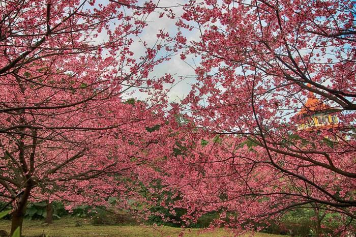 週末好去處加映場   櫻花序曲-天元宮三色櫻