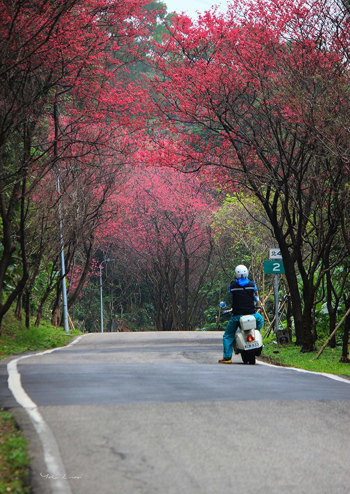週末好去處   滬尾櫻花大道 三里櫻花路 漫天粉紅雪