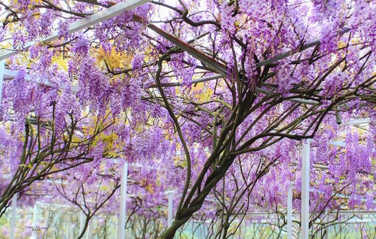 週末好去處 | 季節限定紫藤花瀑布 (北區總整理)