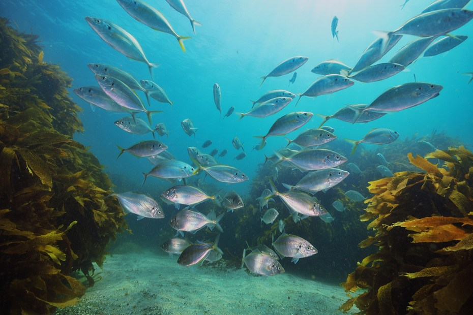 School of New Zealand trevally Pseudocaranx dentex above sandy bottom with kelp forest of Ecklonia radiata around and in background.