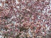 A szomszéd Magnólia fája