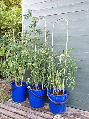 Växtstöd - Tomater
