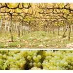mornington peninsula, vines, vineyard, kate mccombie, photographer, melbourne
