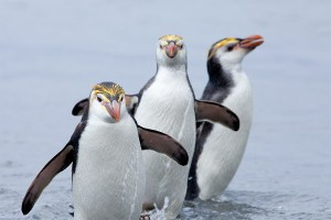kate mccombie, photographer, melbourne, sub-antarctic, Macquarie Island, penguins