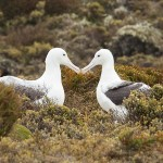 sea bird, Enderby Island, sub-antarctic