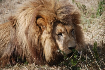 sinbad the lion at born free sanctuary