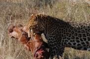 kuma the leopard born free sanctuary shamwari
