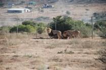 James and Jerry the lion born free sanctuary shamwari