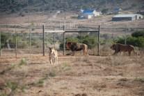James, Jules and Jerry the lion born free sanctuary shamwari