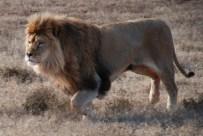 Brutus the lion born free sanctuary shamwari