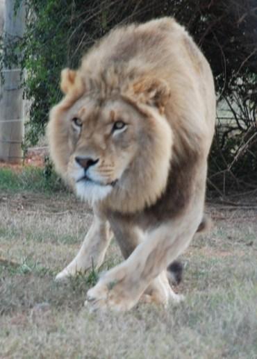 James the lion born free sanctuary shamwari
