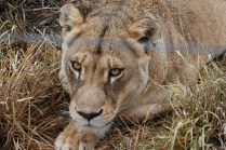 achee the lioness at born free sanctuary