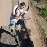 A kudu being released
