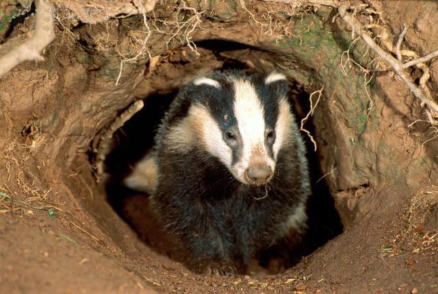 badger attack