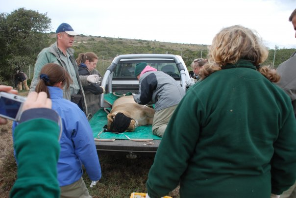 Health checks on Lions in Shamwari were of vital importance.