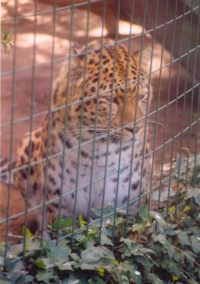 sad leopard behind fence