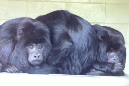 sad gibbons at the zoo