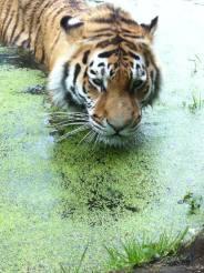 tiger-bathing