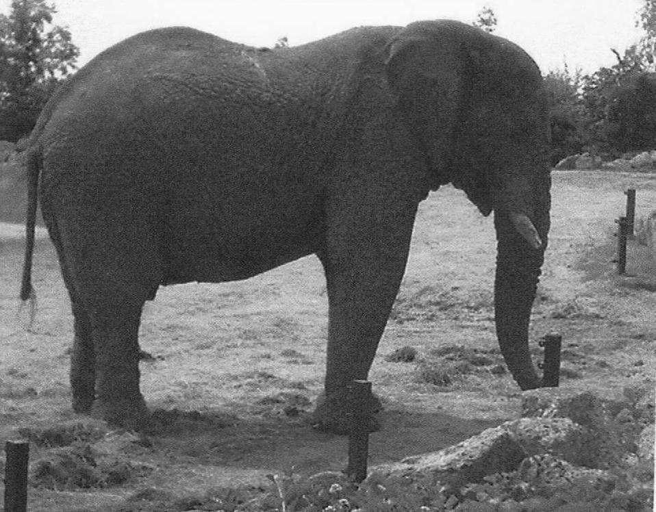 elephant - black and white photo