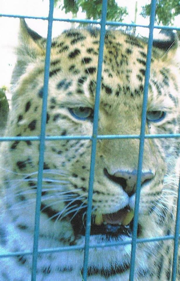 Leopard behind fence