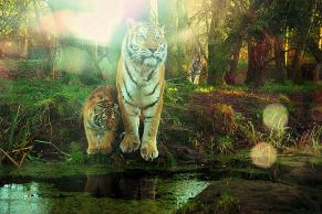 Zoo tigers by Kate on Conservation