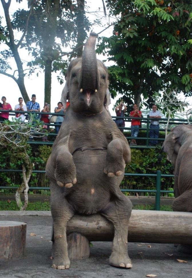Captive Indian elephant