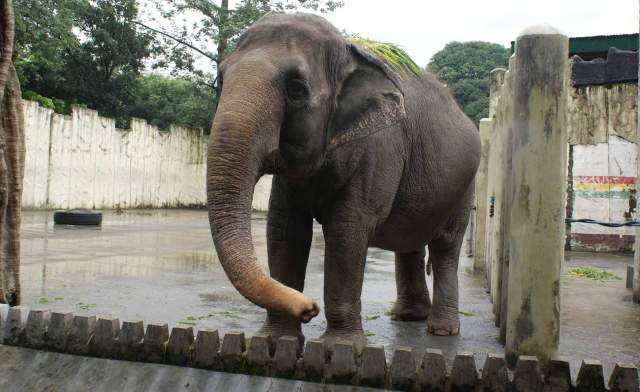 Mali the elephant in the zoo