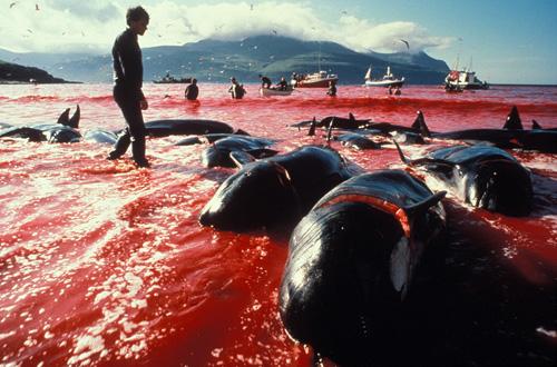 dolphin-slaughter-taiji