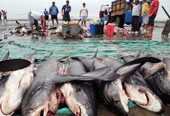 shark fishery