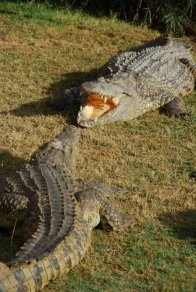 Crocodile photography by Kate on Conservation