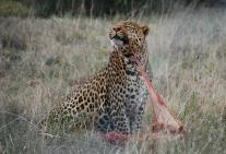 Leopard photography by Kate on Conservation