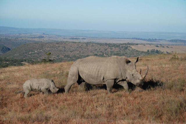 Rhino and calf photography by Kate on Conservation
