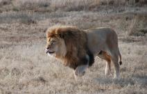 Lion photography by Kate on Conservation