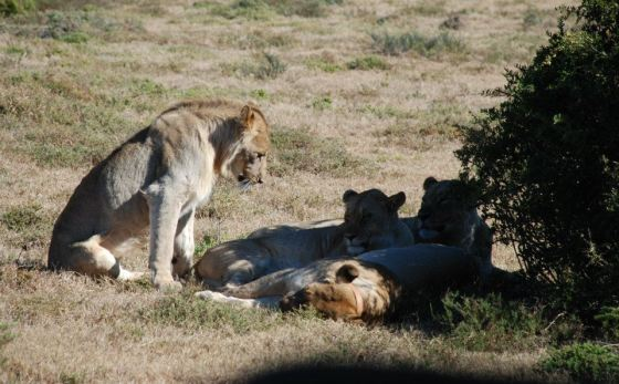 Kate shamwari lion photo