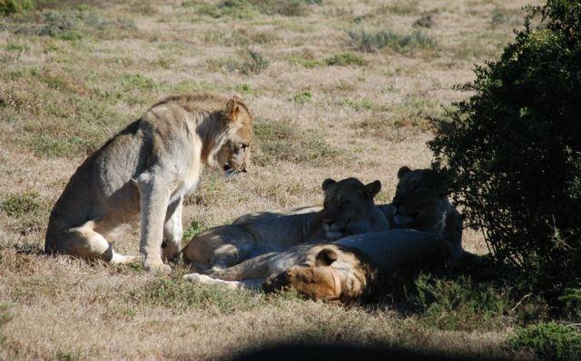 Kate shamwari lion photo