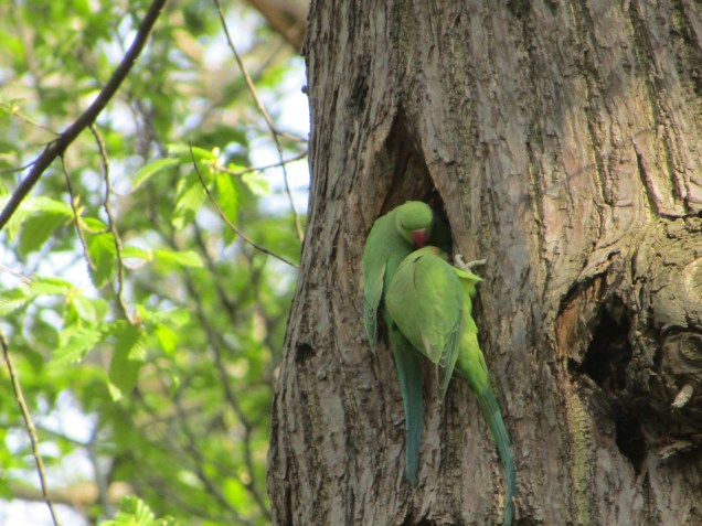 Ring-necked parakeets by Kate on Conservation