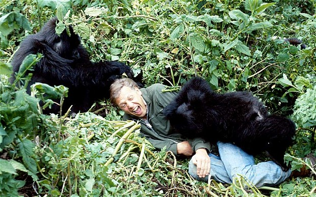 Revisiting Sir David Attenborough's gorilla playmate