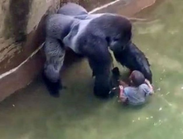 Harambe gorilla and boy