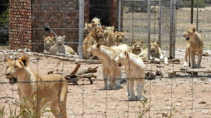 Bred for the bullet: the canned hunting industry